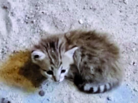 ولادة قط عربي نادر بحديقة حيوان الخور
